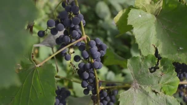Pan záběr zralých hroznů v podzim. Při západu slunce v podzimní sklizeň vinice.