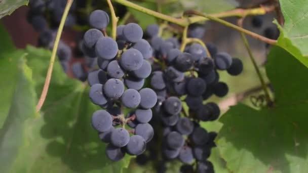 Szőlőültetvények, naplementekor, az őszi betakarítás. Az ember érett szőlő beadása a őszi szezon