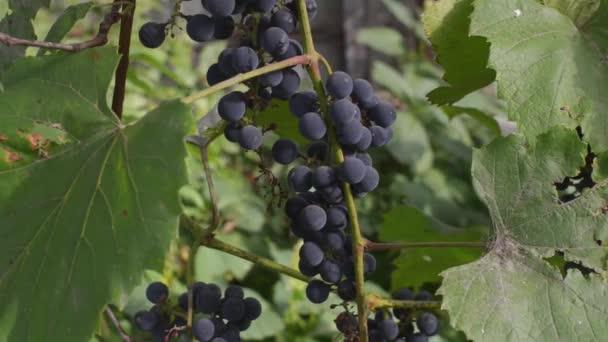 Krásné vinice při západu slunce v podzimní sklizně. Zralé hrozny v podzimu