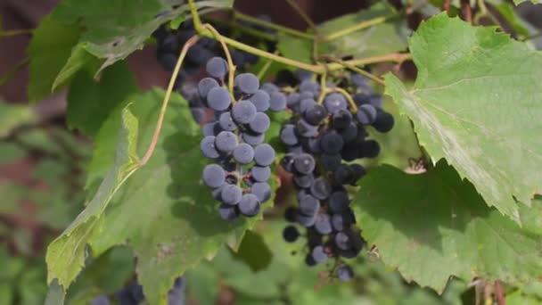 Ekologické vinice při západu slunce v podzimní sklizeň