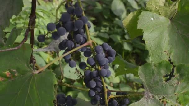 Gyönyörű szőlőskertek napnyugtakor őszi betakarítás. Érett szőlőből készült, az őszi szezon.