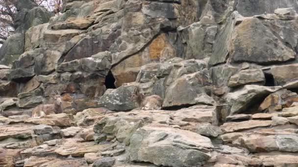 Kamzík, kozorožec sibiřský rodiny na skalách