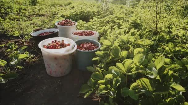 Harvest of fresh ripe juicy strawberries in buckets in an organic garden.