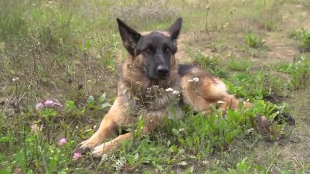 Der große süße schwarz-braune Diensthund Deutsche Schäferhund liegt im Gras und schaut sich um. Hundetraining im Park. Konzept der Suche nach Verlorenen und Menschen unter den Trümmern