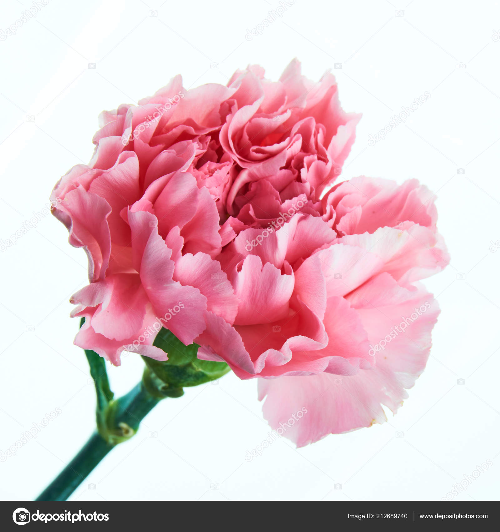 Top Schöne Rosa Nelke Blume Mit Stiel Hautnah — Stockfoto © jan_mach &HU_39