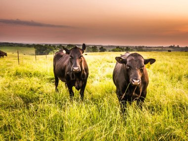 A male and a female beef cattle standing in tall green grass in the pasture with a piece of grass hanging out of the bull's mouth as the cow stands nearby as the sun rises beyond.