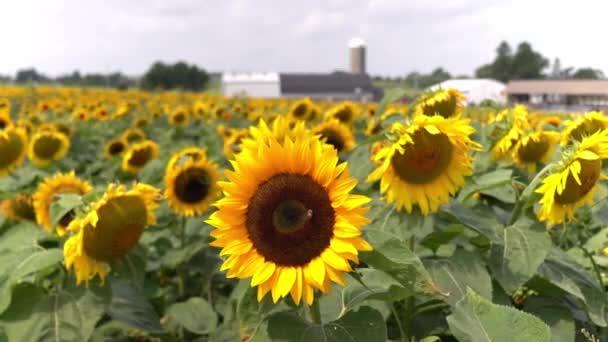 Helyhez kötött kilátás a mező nagy sárga napraforgók lengő a szél, mint egy méh beporozza a magokat egy pajta és siló fókusz vagy elmosódott a háttérben.