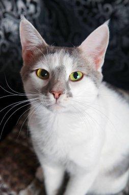 White-tabby cat