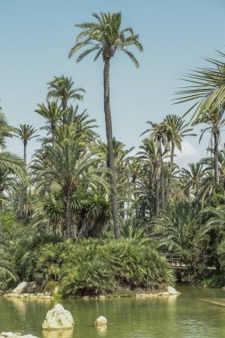 landscape in vertical view of lake and palm trees in El palmeral park on a sunny day in the city of alicante, spain