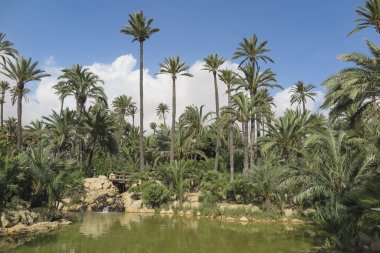 landscape with palm trees, lake and small wooden bridge inside El palmeral park on a sunny day in the city of alicante, spain
