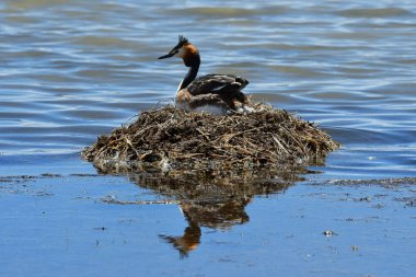 Duck Great crested grebe  (Podiceps cristatus) on the nest. Tibet, lake Manasarovar in June