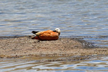 China, Tibet, duck ruddy Shelduck adorna ferruginea  on the bank of the Holy Buddhist lake Manasarovar