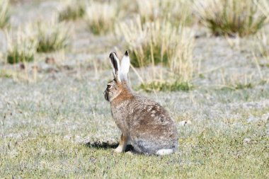 Fauna of Tibet. Tibetan curly hare  (Lepus oiostolus) on the shore of lake Manasarovar