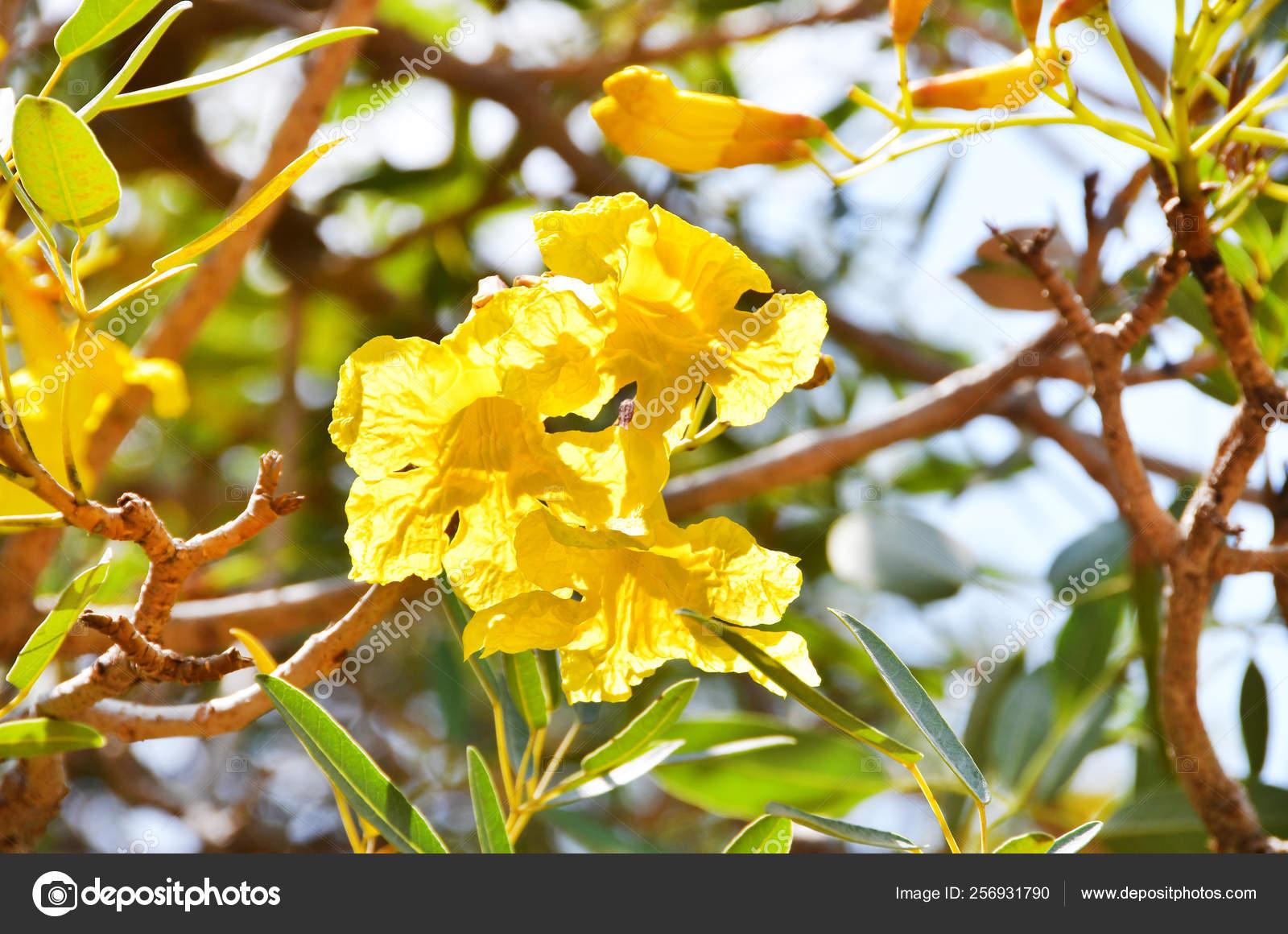 exotic yellow flowers city garden trivandrum thiruvananthapuram