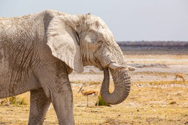 Elephant walking in the dry  african wilderness