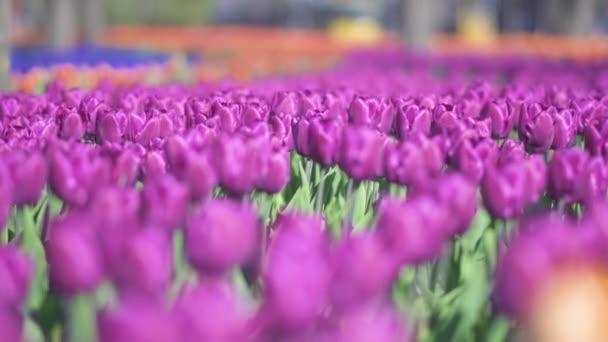 szép színes lila tulipán virágok nyílnak tavasszal kertben. Dekoratív lila tulipán tavasszal. Természet szépsége.