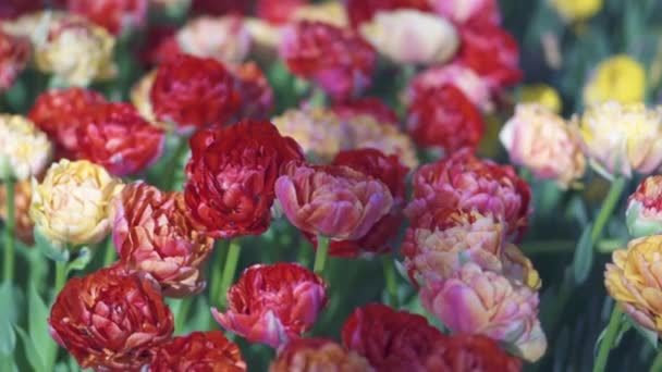 beautiful colorful tulips flowers bloom in spring garden.Decorative tulip flower blossom in springtime.Beauty of nature and vibrant color