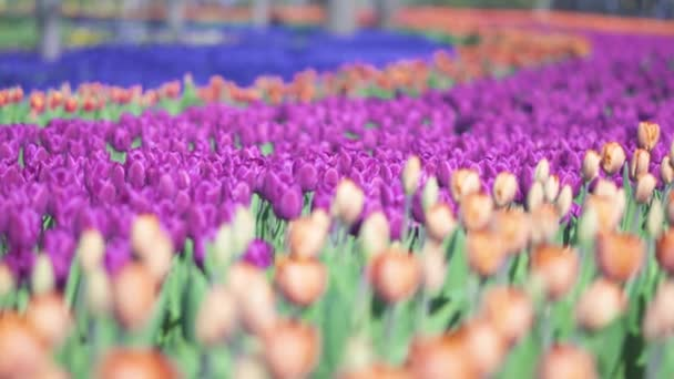 szép színes lila tulipán virágok nyílnak tavasszal kertben. Dekoratív lila tulipán virág virágzik tavasszal. Természet szépsége. Élénk természetes színek