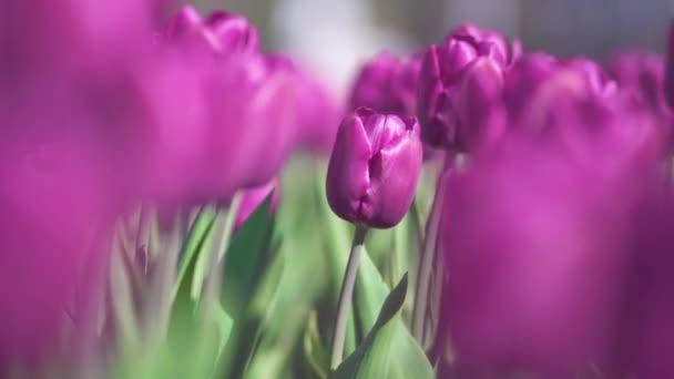 překrásné pestrobarevné purpurové tulipány květiny kvetou v jarní zahradě. Ozdobný fialový Tulipán ve jarní době. Krása přírody.