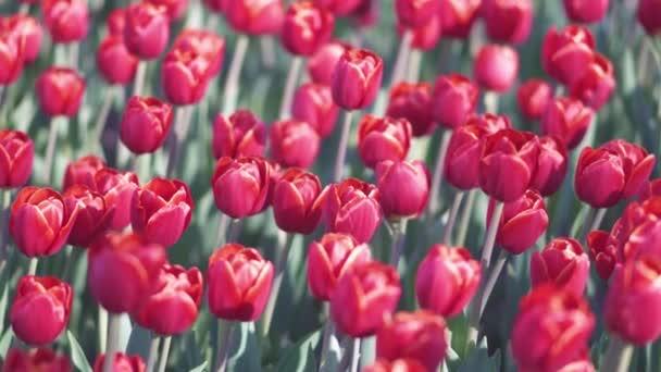 překrásné barevné tulipány květiny kvetou v jarní zahradě. Ozdobný Tulipán květinový květ ve jarní době. Krása přírody a zářivý barevný