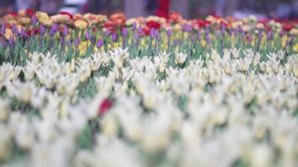 szép színes tulipán virágok nyílnak tavaszi kert. Dekoratív tulipánvirág virágzik tavasszal. Szépsége természet és élénk szín