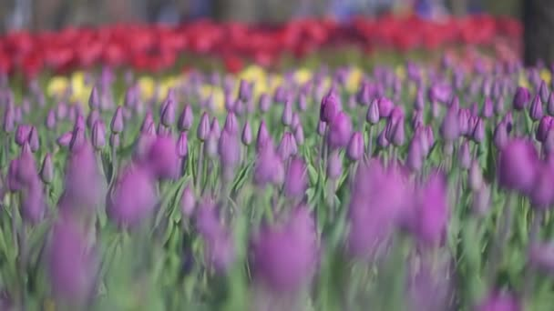 beautiful colorful purple tulips flowers bloom in spring garden.Decorative violet tulip flower blossom in springtime.Beauty of nature.Vibrant natural colors