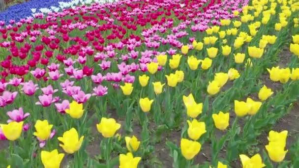 Úžasné Rudé, žluté a oranžové tulipány kvetou v krásném místním turistickém parku. Krásné tulipány květiny, kvetoucí ve velké zahradě