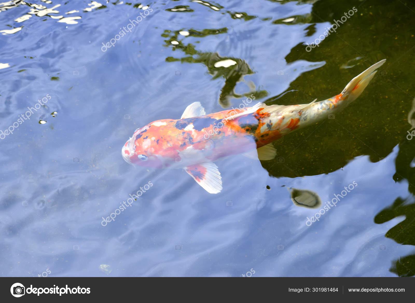 Colorful Japanese Koi Carp Fish Lovely Pond Selective Focus Stock Photo C Tristantan71 301981464