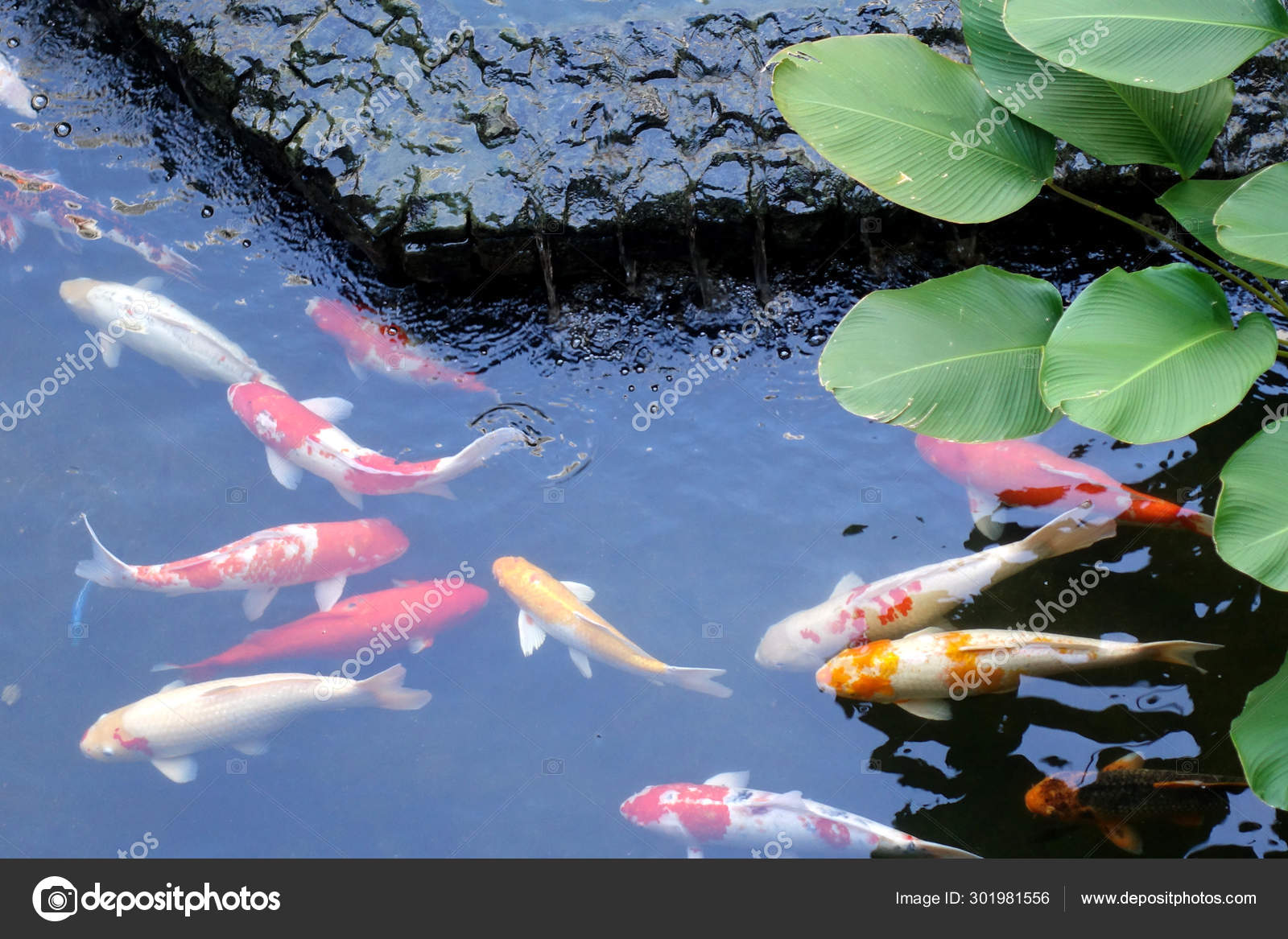 Colorful Japanese Koi Carp Fish Lovely Pond Selective Focus Stock Photo C Tristantan71 301981556