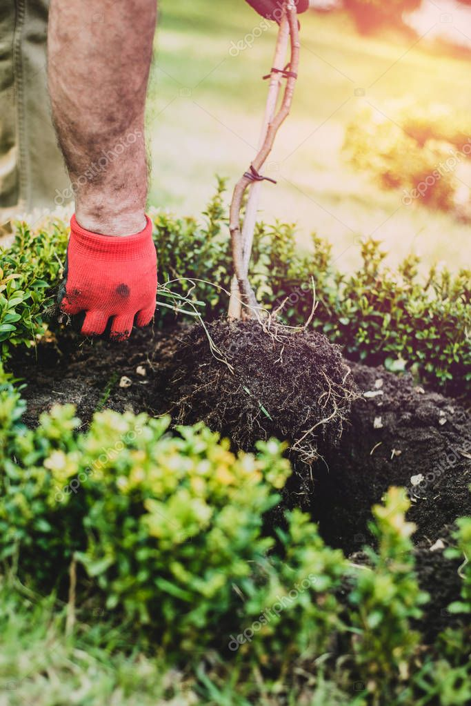 Works in the garden and tree planting. The man digs in the garden, makes seedlings. A gardener dressed in trousers and work boots does the work. A view of a man inserting a tree into the ground.