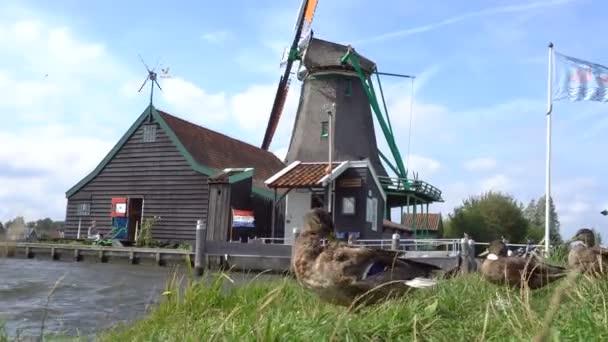 Kachna v přední části tradiční Holland větrnými mlýny v Zaanse Schans, Nizozemsko. Turistická vesnice poblíž Amsterdamu s větrné mlýny a historických dřevěných holandské domy