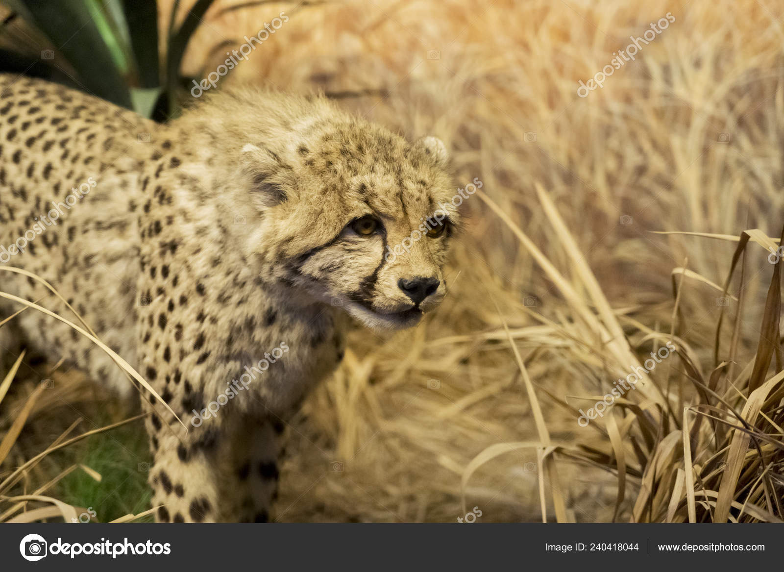 Close Cute Stuffed Cheetah Cub Spotted Batu Secret Zoo Malang Stock Photo C Realinemedia 240418044
