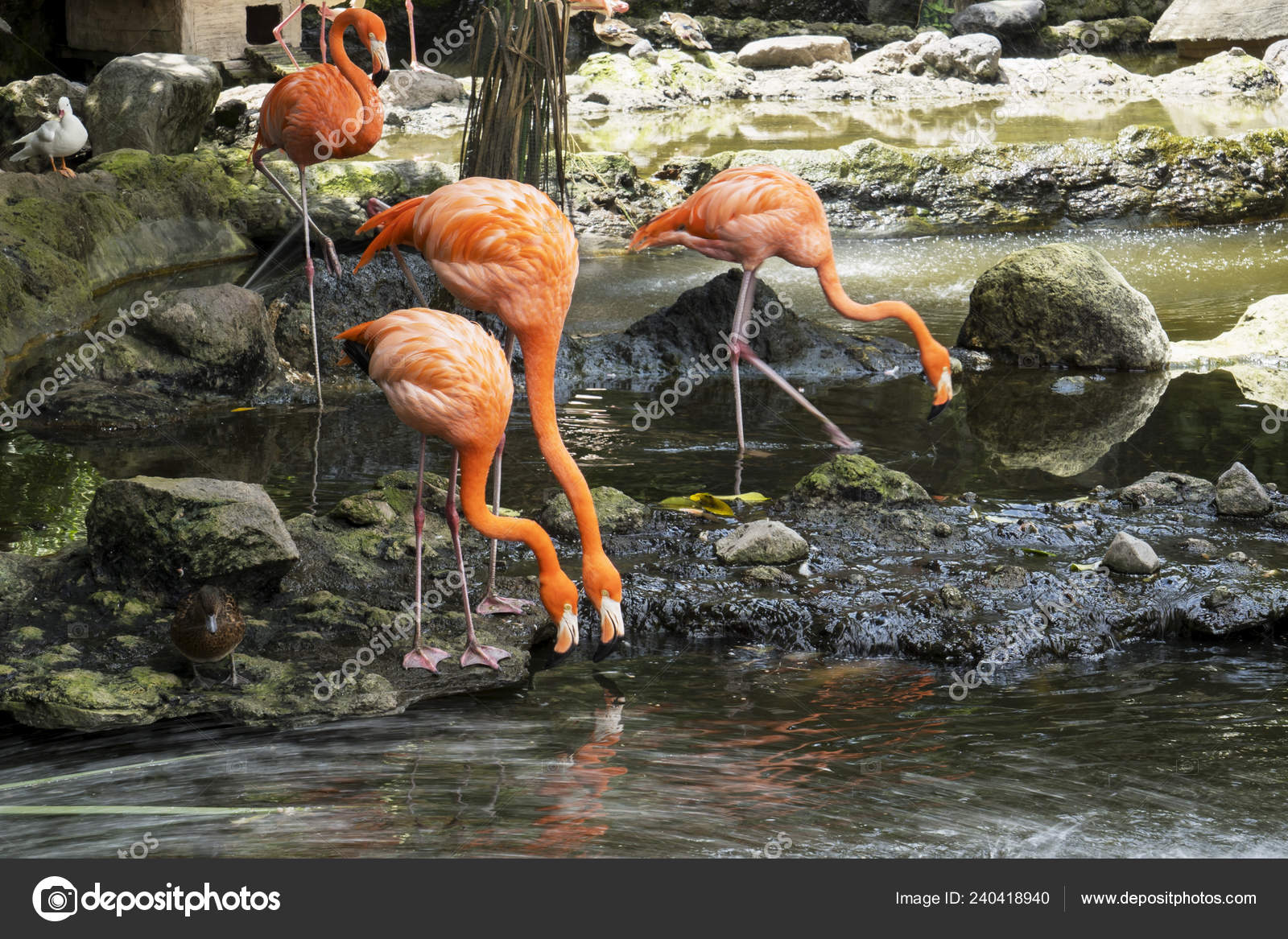 Flock Cuban Lesser Flamingos Eating Lake Batu Secret Zoo Malang Stock Photo C Realinemedia 240418940