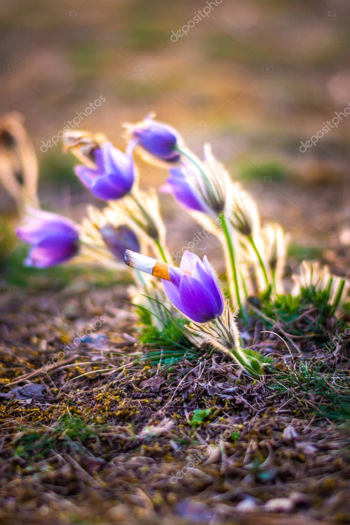 Cigarette butt placed near pasque flower in meadow. Concept of ecology pollution and garbage in the nature. Violet flowers in spring with smoking trash near