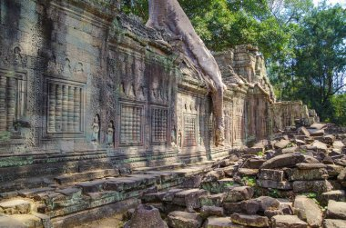 Tree growing out of the Preah Khan temple ruins. Silk-cotton tree (Ceiba pentandra) or thitpok Tetrameles nudiflora, with roots of a spung running along the gallery. Angkor - UNESCO World Heritage site. Cambodia, Siem Reap