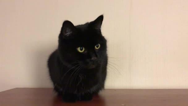 Funny černá kočka myje, leží, olizuje. Krásný nadýchaný Brit se žlutýma očima.