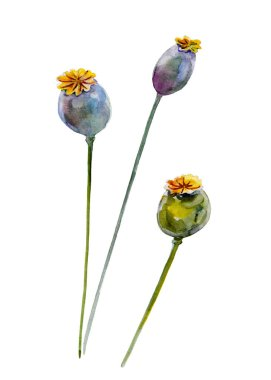 Poppy Pods. Handdrawn watercolor illustration of plants. Object isolated.  Element for design of greeting cards, invitations for weddings, holidays.