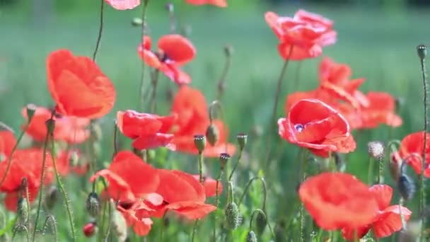 red poppy flowers swaying in the wind against a green field