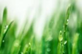 Tráva v ranním jitřním makru