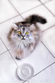 Hladová kočka čeká na jídlo.