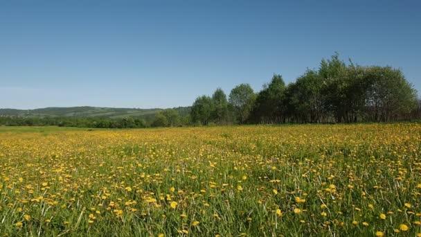 Beautiful field with yellow dandelions.