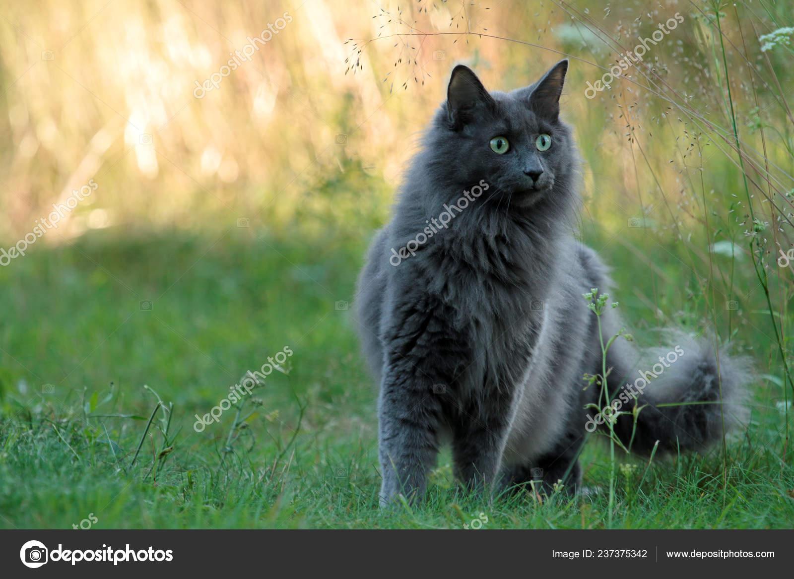 Blue Norwegian Forest Cat Standing Outdoors Evening Beautiful Backlight Stock Photo C Puteli 237375342