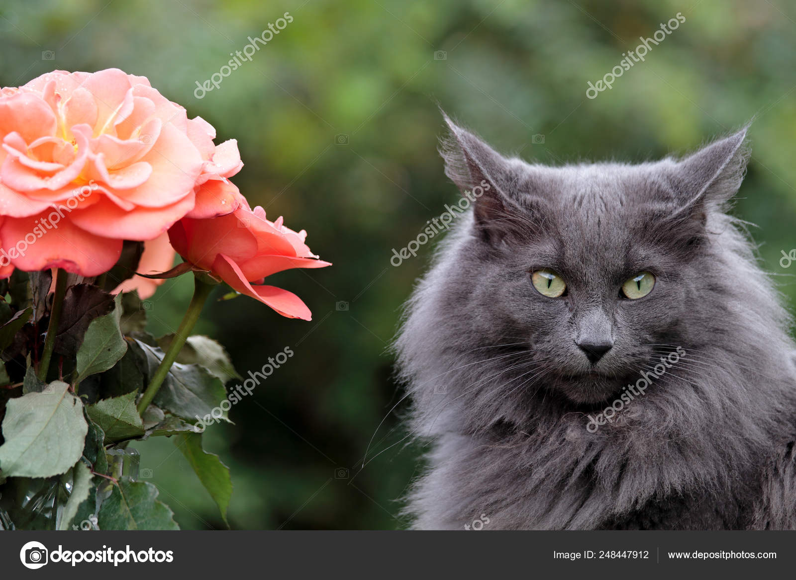 Blue Norwegian Forest Cat Female Very Strict Expression Beautiful Red Stock Photo C Puteli 248447912