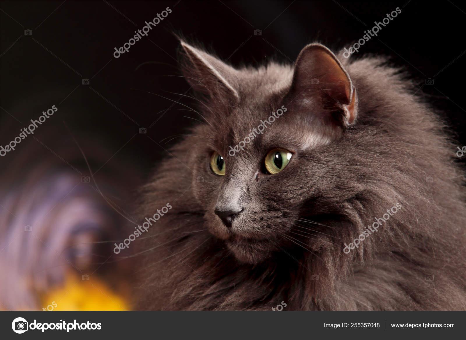 Portrait Beautiful Blue Norwegian Forest Cat Stock Photo C Puteli 255357048