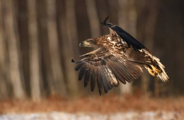Close up view of flying white tailed Eagle
