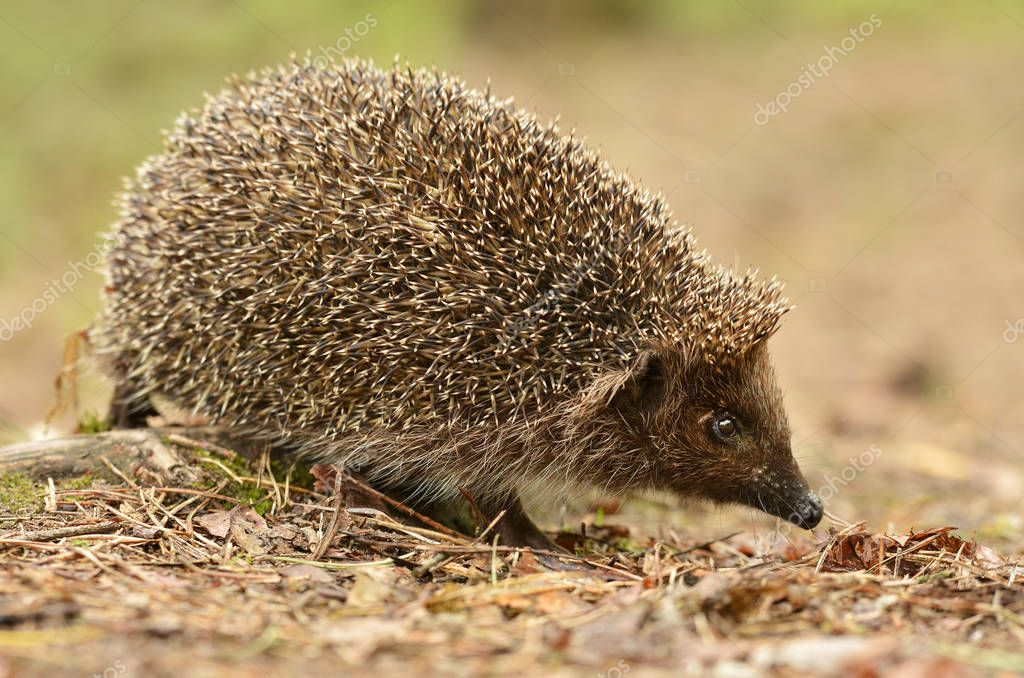 Close up vierw of cute little hedgehog