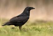 Zár megjelöl kilátás a természetes élőhely közös Raven