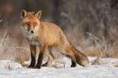 Fotografia curioso volpe in habitat naturale in inverno