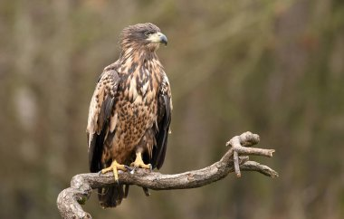 White tailed Eagle in natural habitat