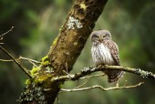 Gufo pigmeo eurasiatico che si siede sul ramo